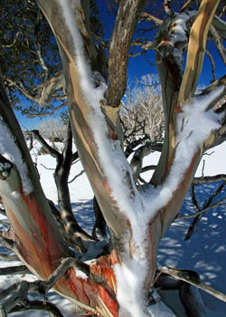 Ski Perisher Snow Gums